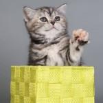 кошка BRI fs22